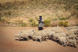Uma chola com seu rebalho de ovelhas