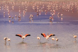 Flamingos no lago Uro Uro