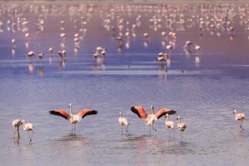 Flamingos Andinos no lago Uhu Uhu
