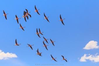 Revoada de Flamingos Andinos