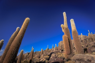 Cáctus gigantes na Ilha Incahuasi.