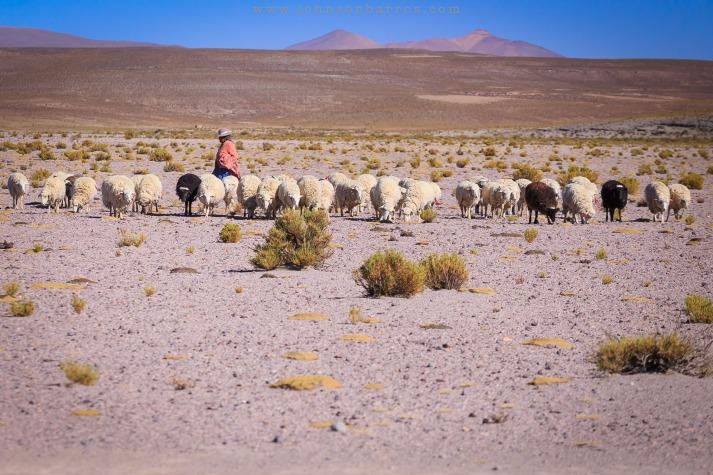 Uma chola pastoreando ovelhas