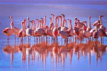 Flamingos habitam a Laguan Colorada.