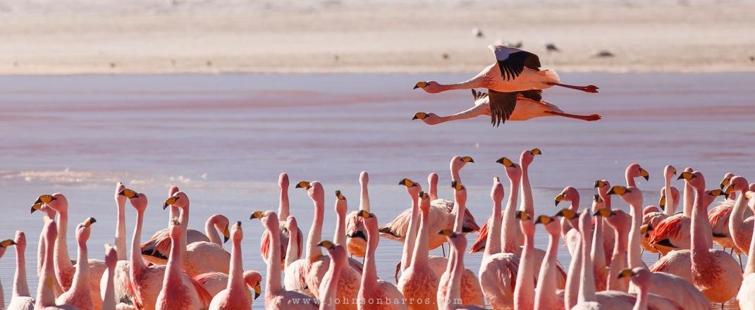Flamingos James