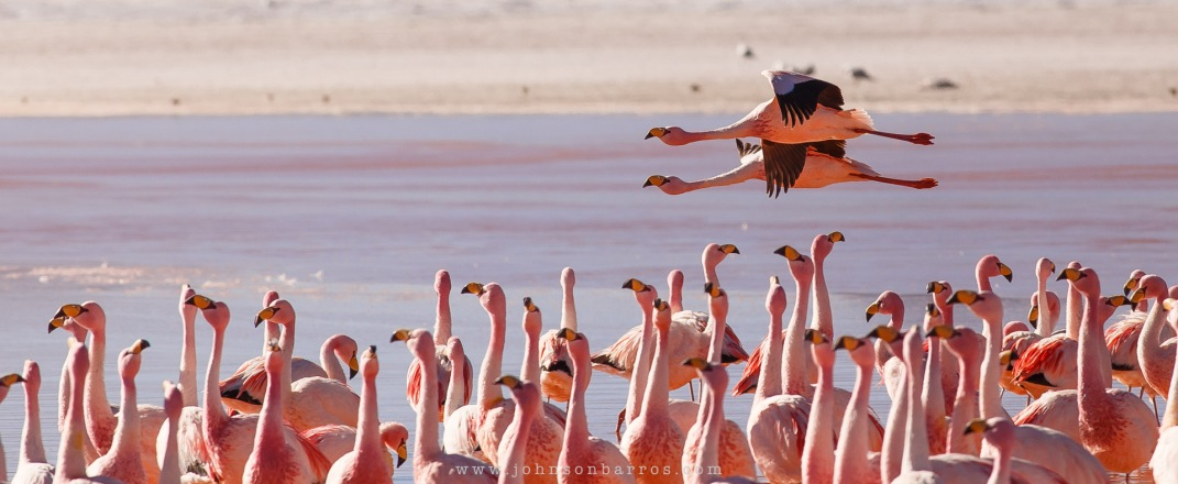Flamingos James