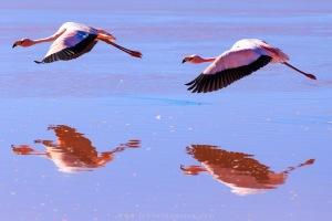 Flamingos.